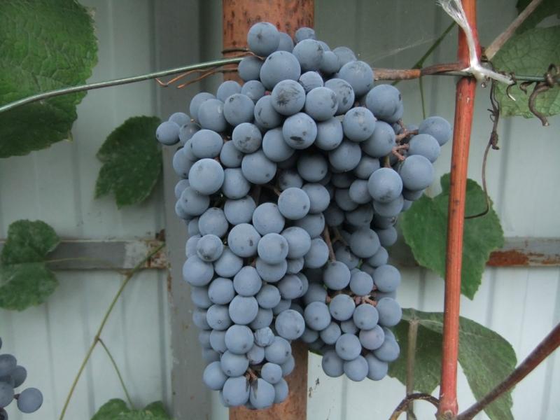 виноград АмурШа1