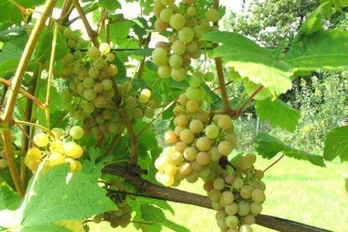 виноград: сорт Дублянский