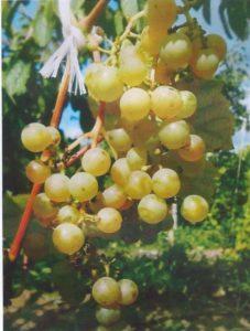 виноград: сорт Золотой Потапенко