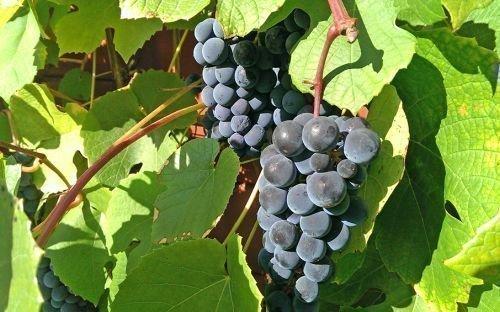 виноград: сорт Хасанский сладкий