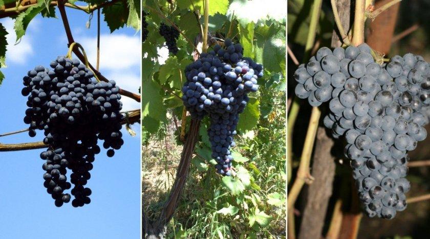 виноград: сорт Красень