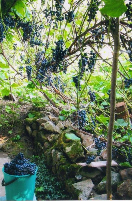 Виноград: сорт Северный стойкий