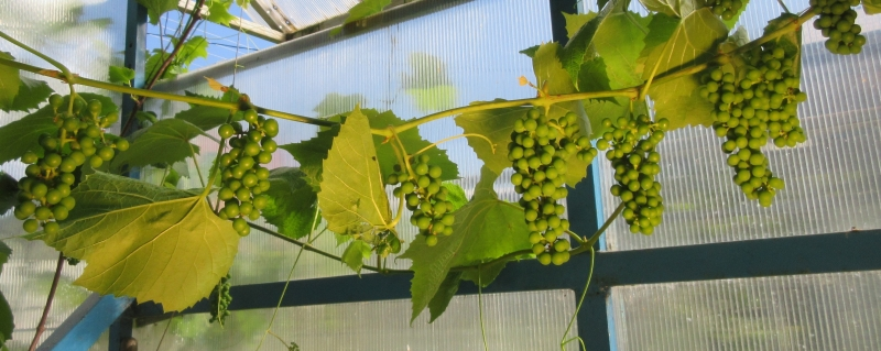 виноград: сорт Король севера