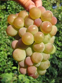 виноград: сорт Паланга