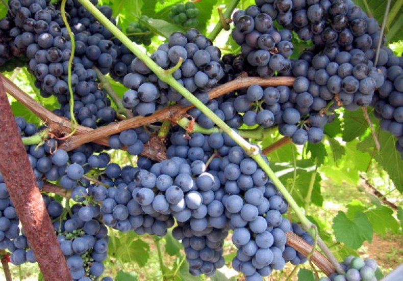 виноград: сорт Вэлиант