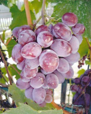 виноград: сорт  Виктория