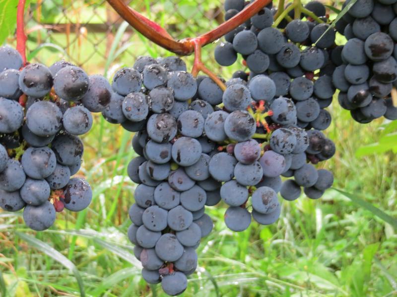 виноград: сорт Зилга